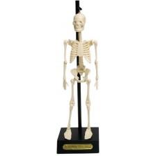 Детска играчка Rex London - Анатомичен модел на скелет -1